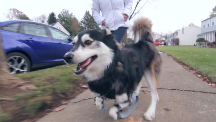 Thanks To 3D Printing This Dog Can Walk Again (7 pics)
