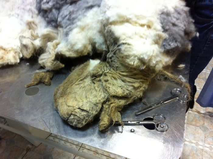 You Won't Believe There's A Dog Under All That Fur (19 pics)