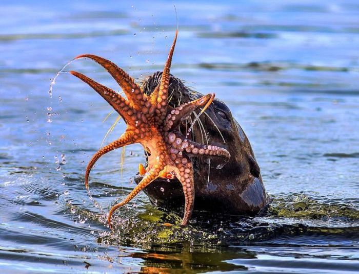 Octopus, It's What's For Dinner (10 pics)