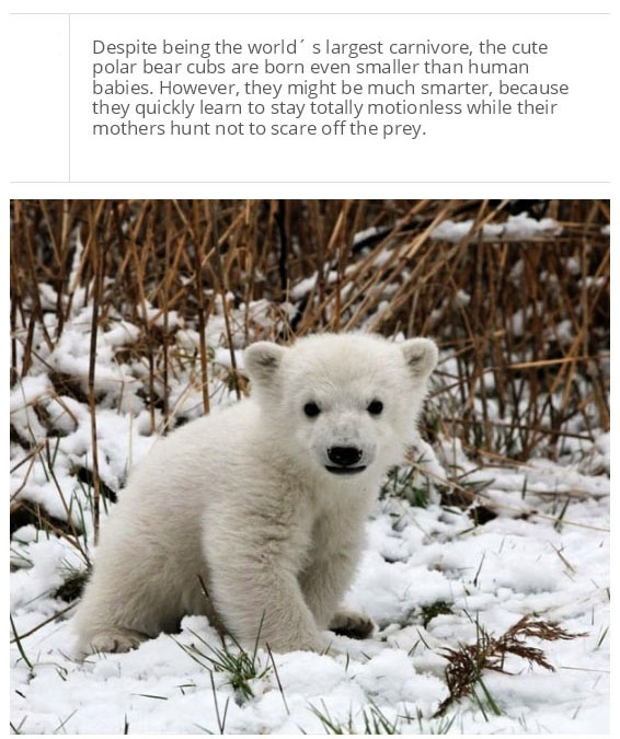 Facts You Probably Don't Know About Polar Bears (25 pics)