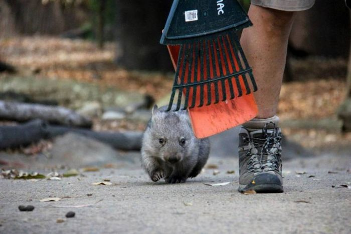 Wombat Chloe Learns To Live With Humans (8 pics)