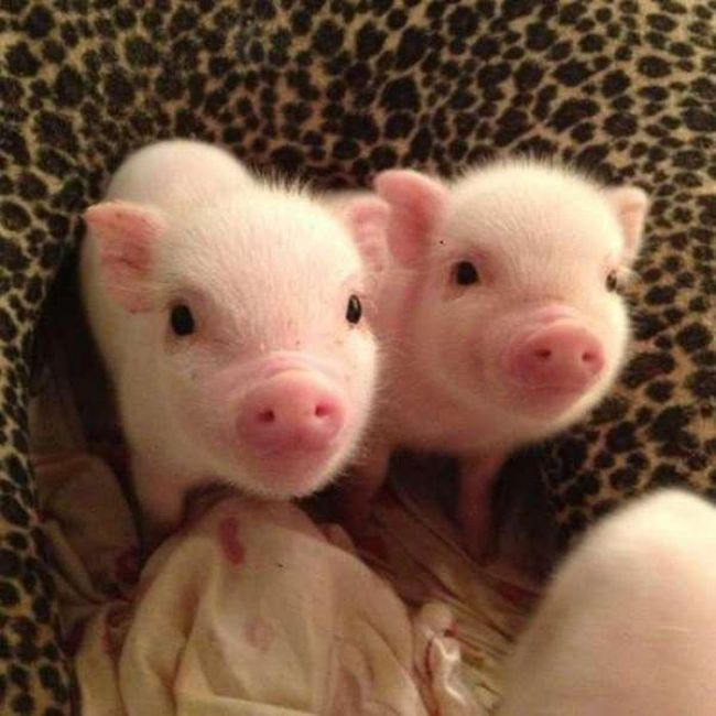 Proof That Pigs Make The Coolest Pets (35 pics)