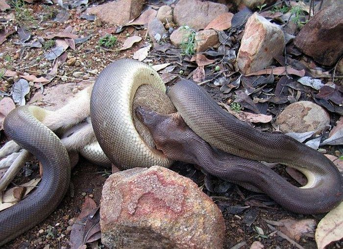 Python Swallows A Wallaby Whole (8 pics)