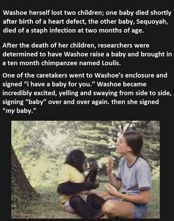 They Told This Chimp They Lost Her Baby, You Won't Believe Her Reaction (5 pics)
