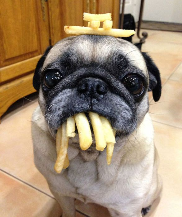 If You Have Food There's Got To Be A Pug Close By (17 pics)