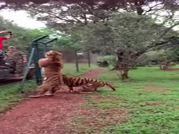 Jump Of A Tiger In South Africa