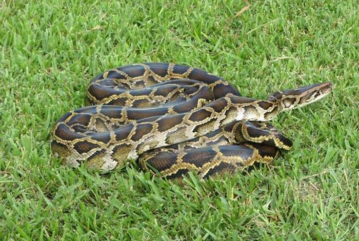 This Burmese Python Tried To Eat An Alligator But It Didn't End Well (3 pics)