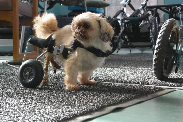 These Dogs In Wheelchairs Are The Cutest Thing You'll See Today (20 pics)