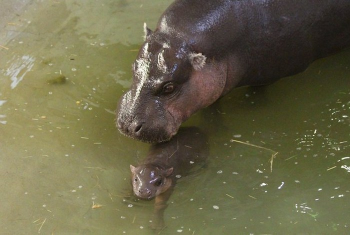 This Newborn Pygmy Hippo Is The Cutest Thing You'll See Today (10 pics)