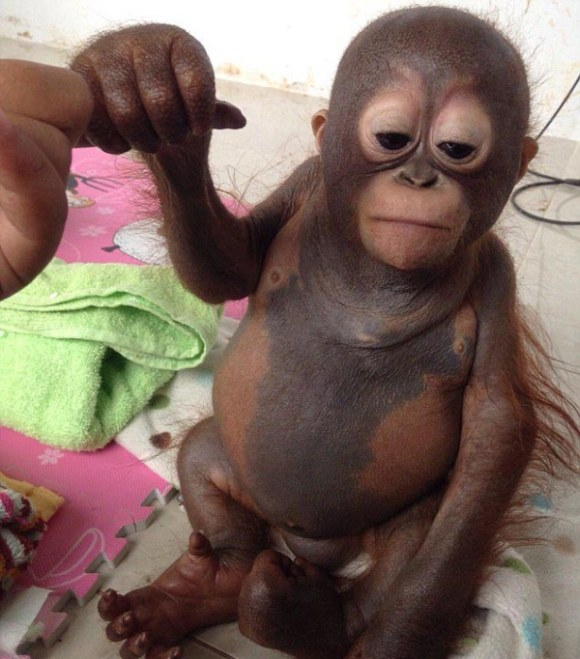 Baby Orangutan Gets Another Shot At Life (7 pics)