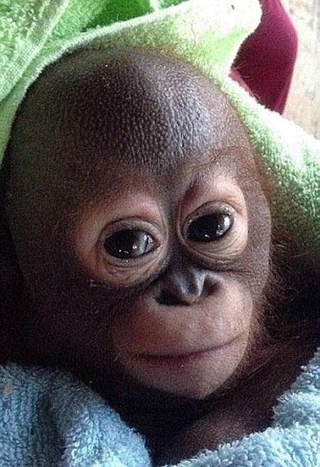 Baby Orangutan Gets Another Shot At Life (7 pics)