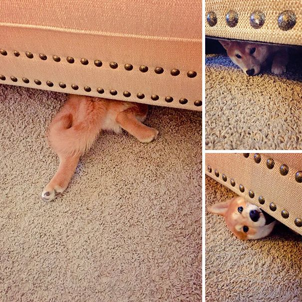 These Dogs Are Terrible At Hide And Seek (25 pics)