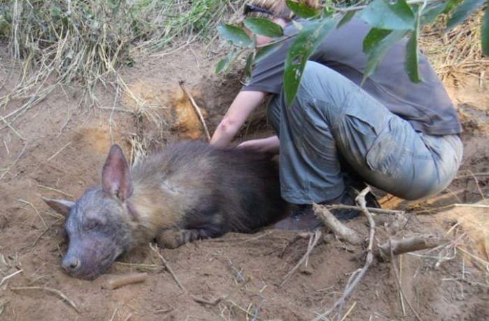 Hyena Pup Rescue (8 pics)