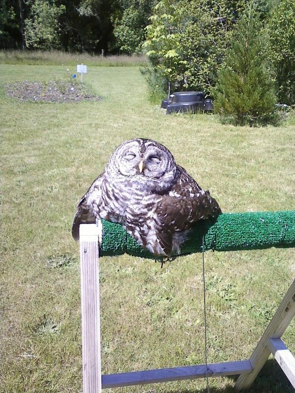 It Looks Like This Owl Melted In Direct Sunlight (4 pics)