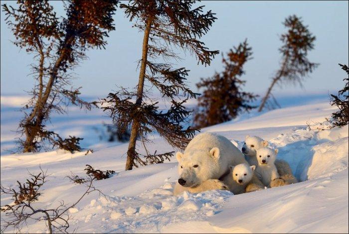 A Series Of Photogenic Polar Bears (41 pics)