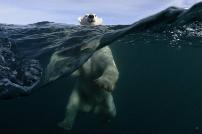A Series Of Photogenic Polar Bears (41 pics)