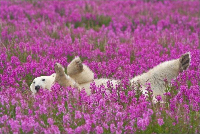 http://acidcow.com/pics/20150128/polar_bear_35.jpg