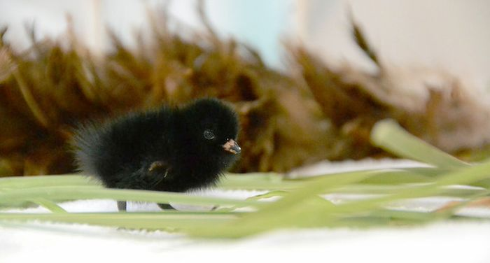 Rare Bird Found In Petaluma, It's Tiny (2 pics)