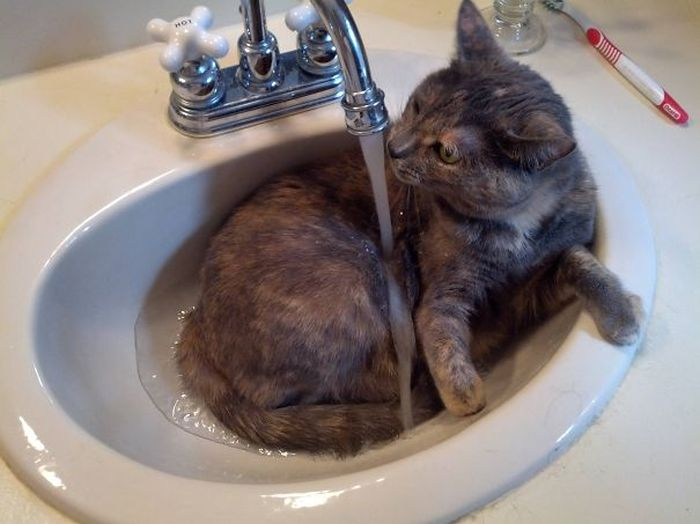 These Cats Legitimately Love Water (30 pics)