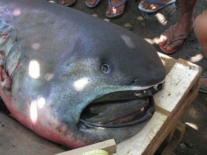 This Megamouth Shark Is A Whole Lot Of Nope (4 pics)