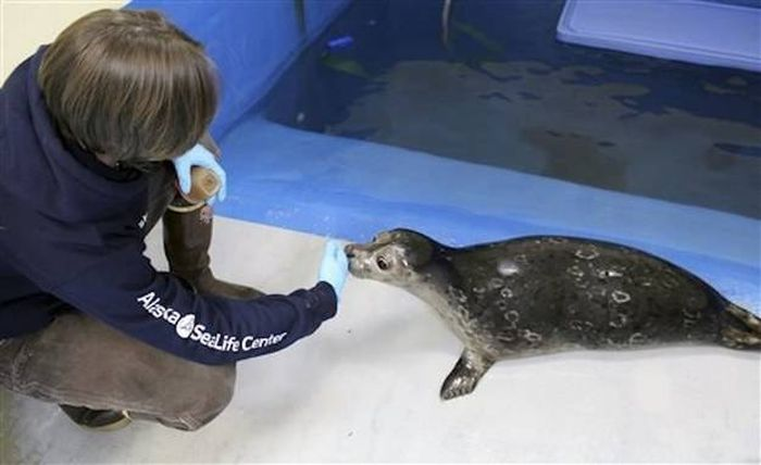 Everyone Is Falling In Love With This Blind Baby Seal (4 pics)