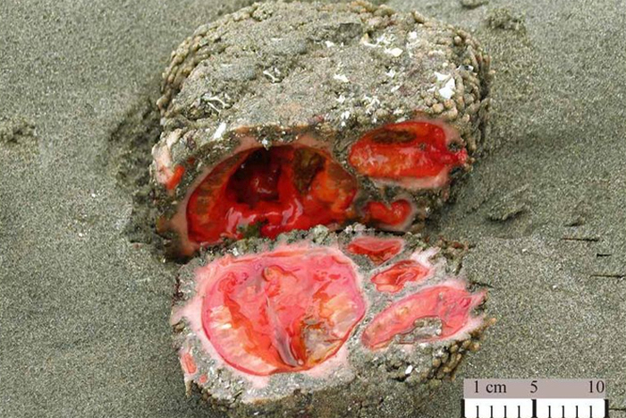 Pyura Chilensis (5 pics)