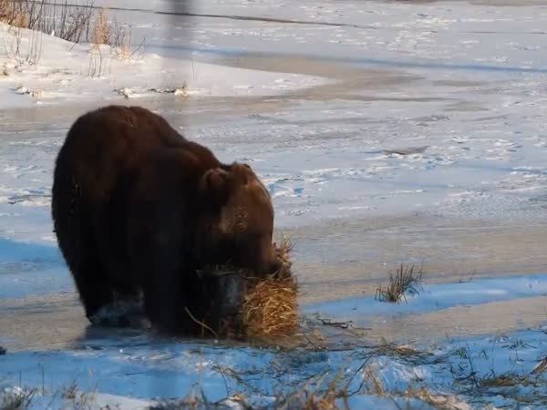 Bear And Straw