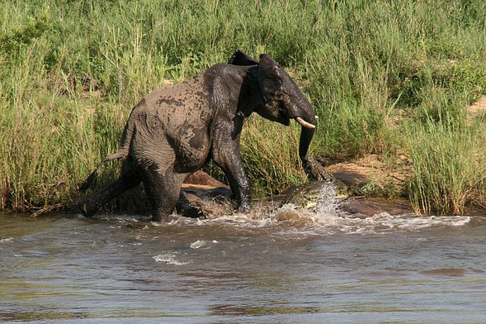 This Crocodile Surprise Attacked An Elephant And It Wasn't Pretty (5 pics)