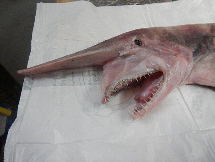 This Extremely Rare Shark Is Considered A Living Dinosaur (6 pics)