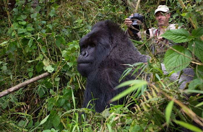See The Exact Moment A Gorilla Punched This Photographer (8 pics)