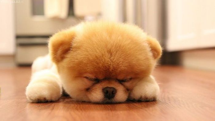 These Puppies Look A Lot Like Teddy Bears (35 pics)