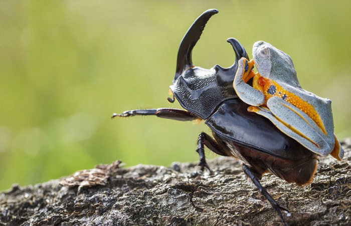 Frog Riding A Beetle (9 pics)