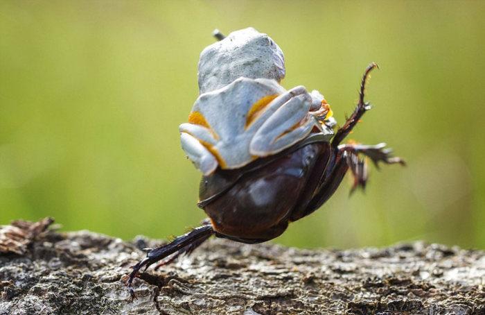 Frog Riding A Beetle (9 pics)