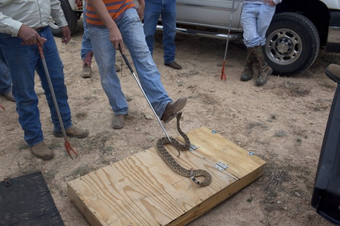 Americans Eat Thousands Of Rattlesnakes At This Festival (13 pics)