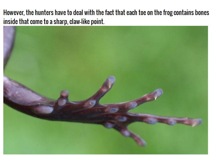 This Frog Does Something Frightening To Protect Itself (3 pics)