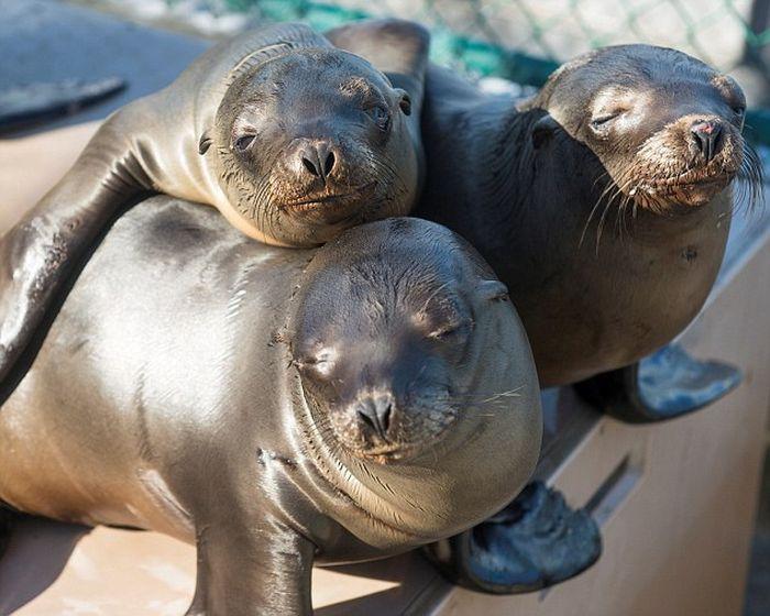 No One Knows What's Causing These Sea Lion Pups To Get Sick (12 pics)