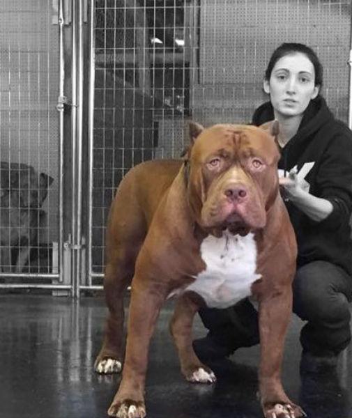 This Pitbull Is Gigantic (23 pics)