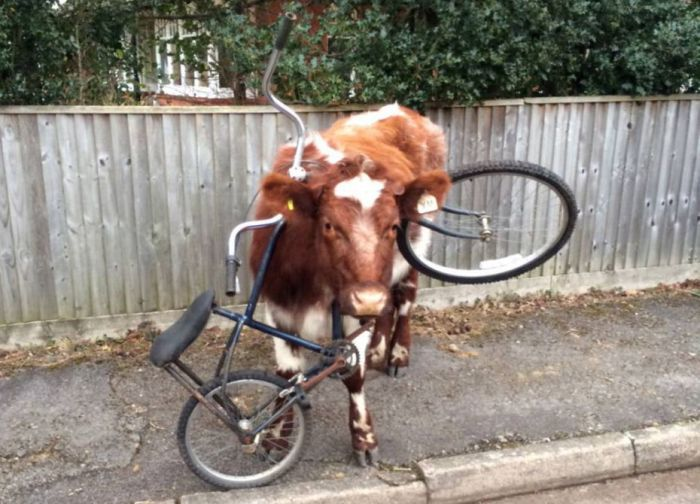 This Cow Has No Idea How That Bike Got There (2 pics)