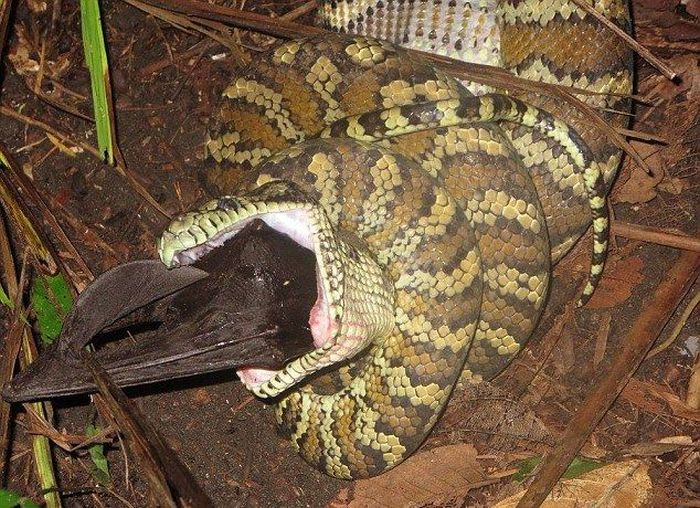 Python Devours A Bat For Dinner (5 pics)