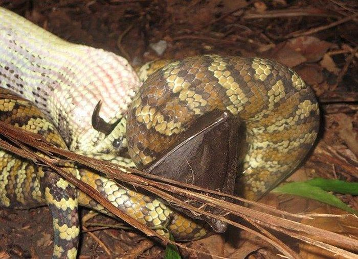 Python Devours A Bat For Dinner (5 pics)
