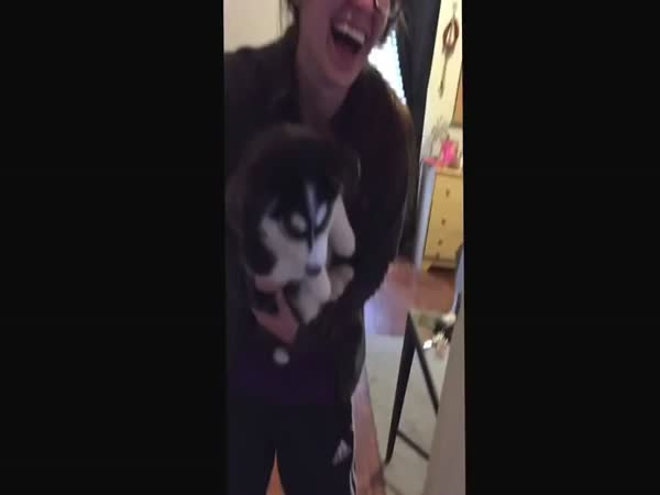 Talking Husky Puppy