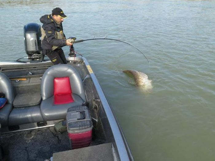 Fisherman Catches One Of The World's Largest Catfish (9 pics)