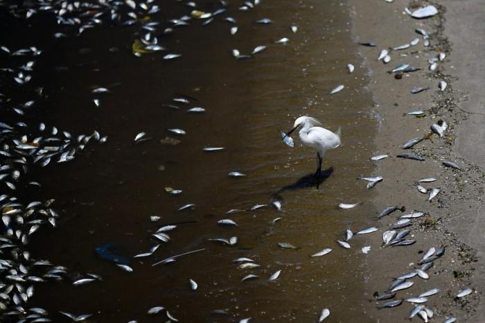 Mysterious Dead Fish On The Shore Of Rio de Janeiro (11 pics)
