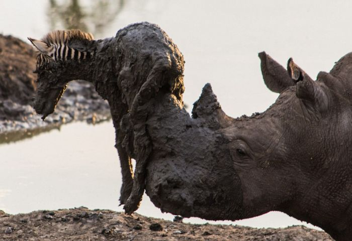 This Massive Rhino Saved A Zebra That Was Stuck In The Mud (4 pics)