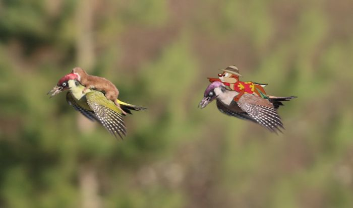 Baby Weasel Hitches A Ride On A Woodpecker's Back (17 pics)