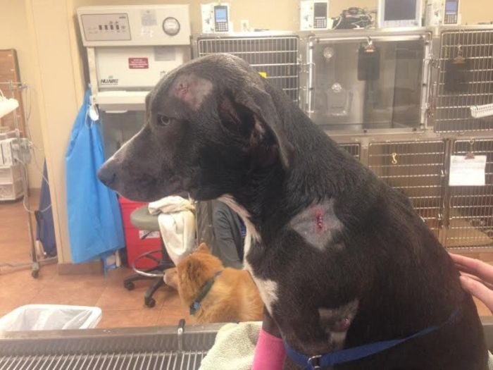 Dog Takes Bullet For Owners While Protecting Them  (2 pics)