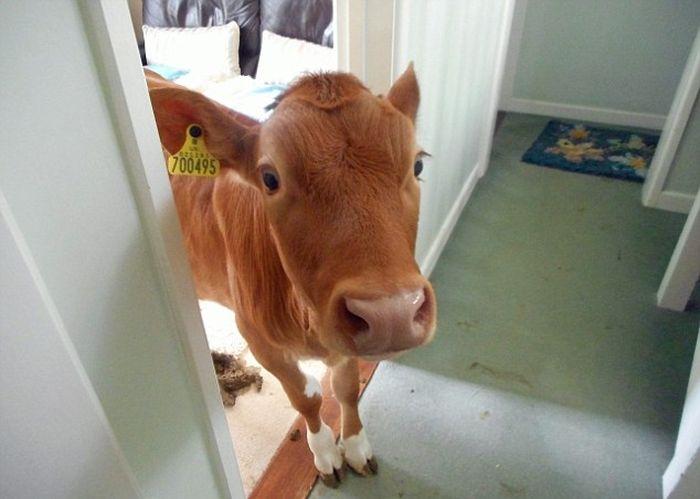 Pet Cows Break Into The House And Drop A Bomb (9 pics)