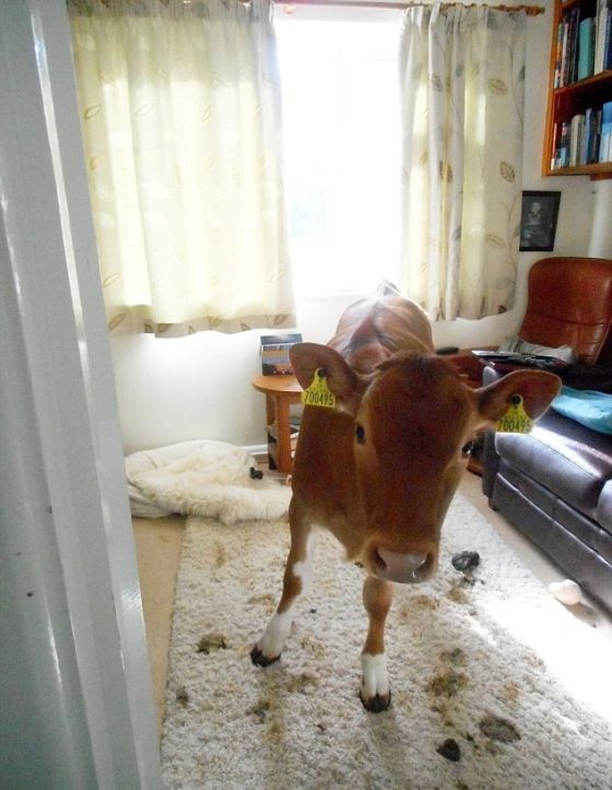 Pet Cows Break Into The House And Drop A Bomb (9 pics)