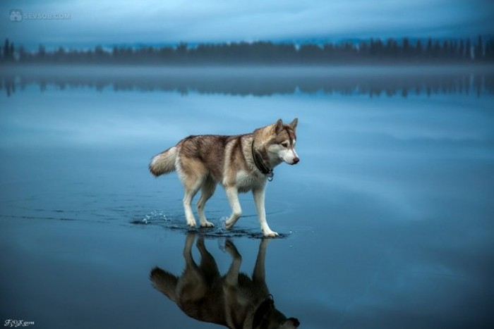 Siberian Husky Goes For A Walk On A Frozen Lake (25 pics)