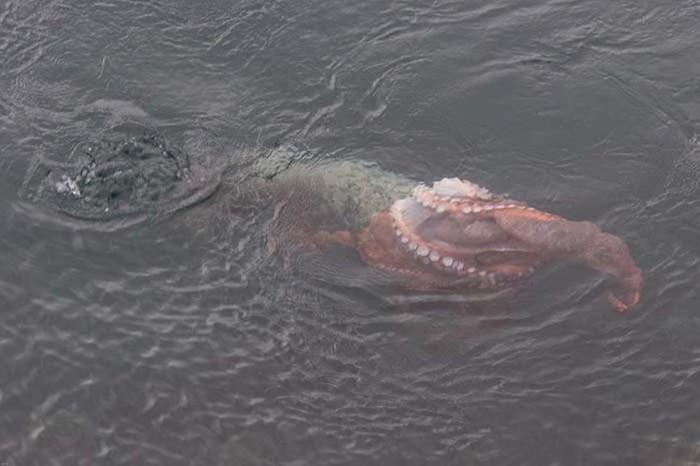 Harbor Seal Vs Giant Octopus (7 pics)